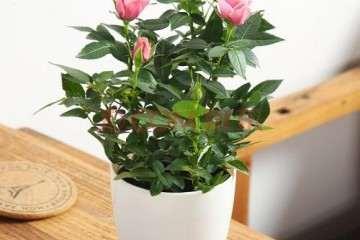 月季盆栽怎么防治白粉病的方法 图片