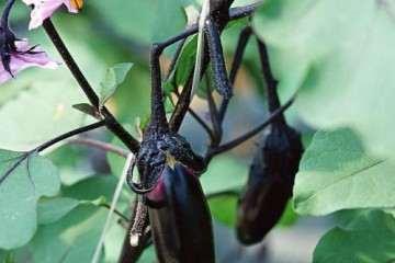 不同臭氧浓度对盆栽茄子生长发育的影响