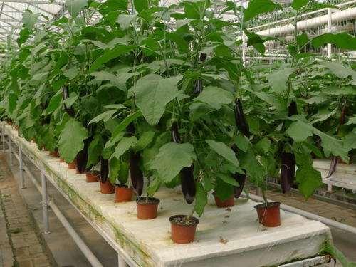 茄子盆栽怎么栽培的方法 图片