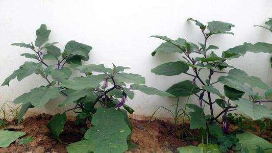 不同臭氧浓度对茄子盆栽生长指标的影响