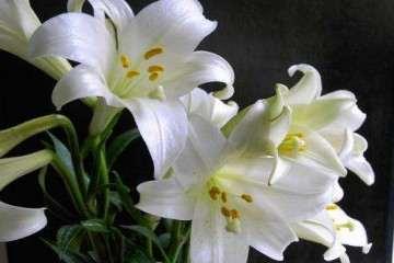 为什么广西非常适合百合盆栽 图片