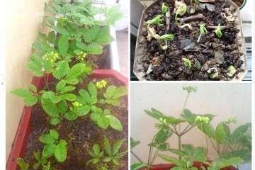不同的施肥对盆栽西洋参出苗率的影响