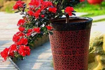 不同基质对盆栽杜鹃花生长的影响 图片