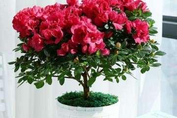 不同基质对盆栽杜鹃花冠幅的影响 图片