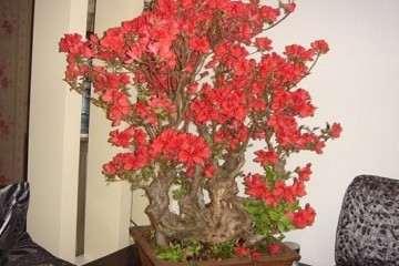 什么基质对杜鹃盆栽的生长最好 图片