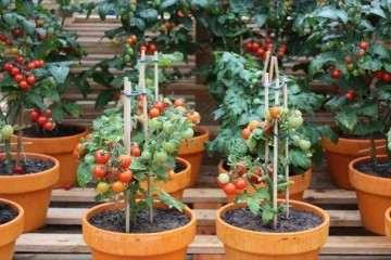 调理剂对盆栽番茄土壤性状影响研究