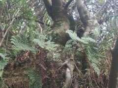 这个朴树下山桩怎么样 帮忙看看 图片