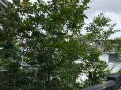 这是朴树下山桩 我们说的沙朴 图片