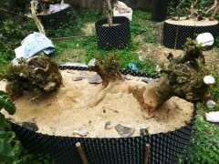 去年种的朴树下山桩 终于发芽啦 图片