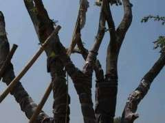 大型朴树下山桩 1万6 怎么样 贵不贵 图片