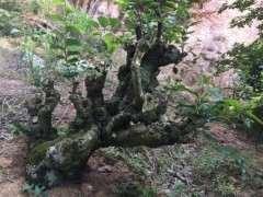 朴树下山桩种了几年 该怎么修剪 图片