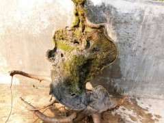 这颗朴树下山桩桩如何 能不能栽活 图片
