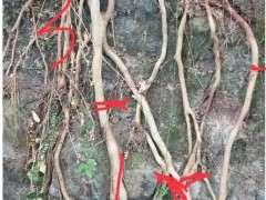 露根朴树下山桩能不能发芽 怎么办 图片
