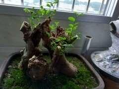朴树下山桩发芽后 枯萎了 怎么办 图片