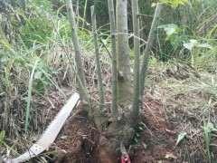 丛林朴树下山桩 制作过程 可以吗 图片