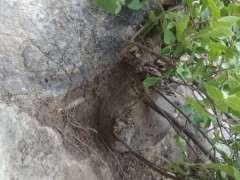 朴树下山桩怎么样 中间有石头 图片