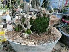 朴树下山桩发芽 长青苔了 怎么样 图片