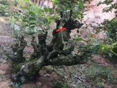 我的朴树下山桩 设计图 可以吗 图片