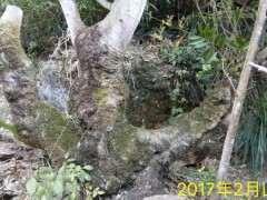 朴树下山桩怎么上盆造型的方法 图片