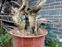 今天挖的舍利干朴树下山桩 怎么样 图片