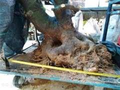 大朴树下山桩 150斤 700元 怎么样 图片