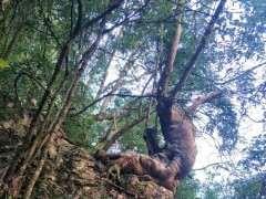 发几张 现场挖朴树下山桩的图片 可以吗