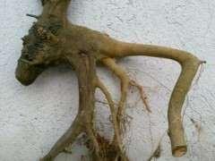 为什么朴树下山桩就是长的快 图片