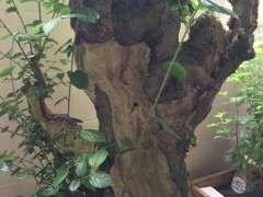 朴树下山桩种下5个月 要怎么修剪 图片