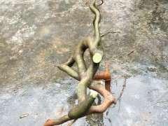 昨天晚上挖回家的朴树下山桩 怎么样