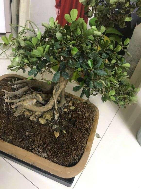 中华蚊母下山桩叶子干枯掉 怎么办 图片