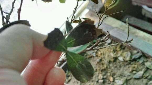 蚊母下山桩叶子一直掉 变黑 怎么办 图片