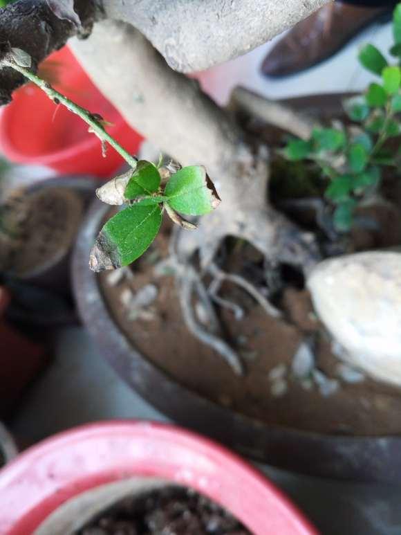 蚊母下山桩叶子是什么情况 怎么办 图片