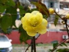 小区里的腊梅下山桩开花了 可以吗 图片