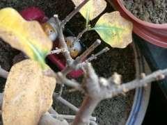 腊梅下山桩叶子长得怎么大 为什么 图片