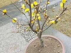 什么品种的腊梅下山桩生长最快 图片