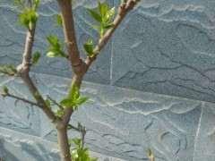腊梅下山桩的芽怎么长这么慢啊 图片