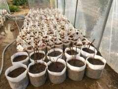 腊梅下山桩怎么种植发芽率高 图片