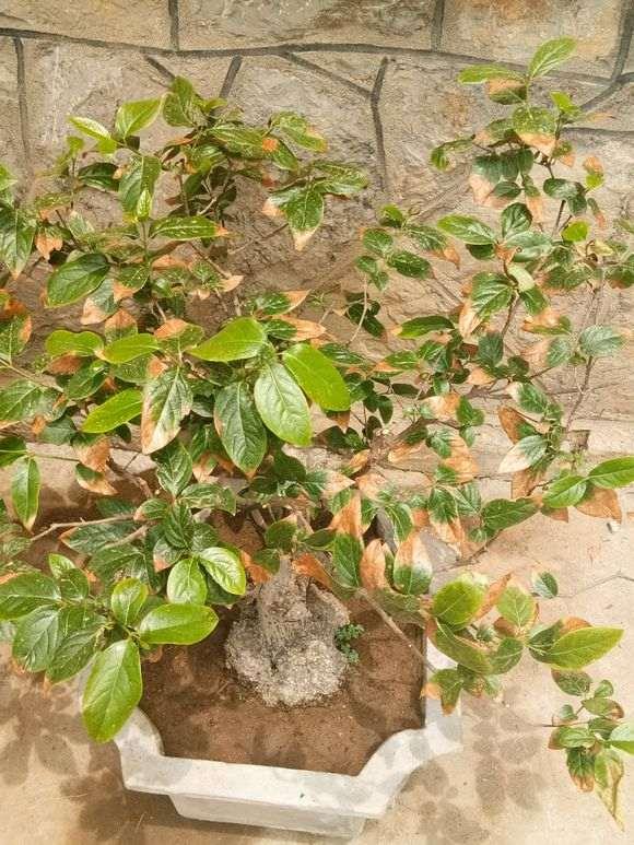腊梅下山桩干叶子是怎么回事 为什么 图片
