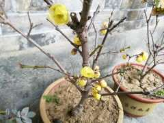腊梅下山桩开花了 还是花苞 可以吗