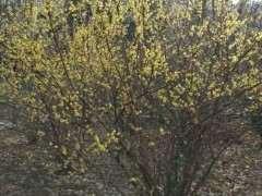 小区绿化的丛生腊梅下山桩 可以吗 图片