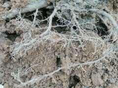 腊梅下山桩怎么上盆配土的方法 图片