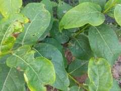 腊梅下山桩什么时候移栽成活率最高
