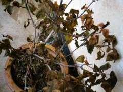秋季腊梅下山桩落叶了吗 怎么办 图片