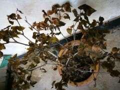 腊梅下山桩叶子全部枯死 怎么办 图片