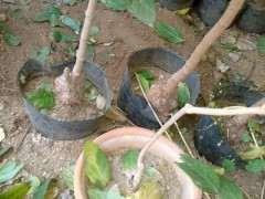 盆栽腊梅下山桩长的慢 怎么办 图片