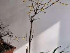 腊梅下山桩怎么剪掉枝条的方法 图片
