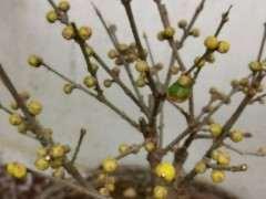 冬日腊梅下山桩马上开放 花芽这么多 图片