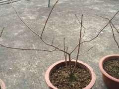腊梅下山桩种子发芽后 几年开花呀 图片