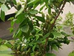 家里种的腊梅下山桩结果种子有什么用