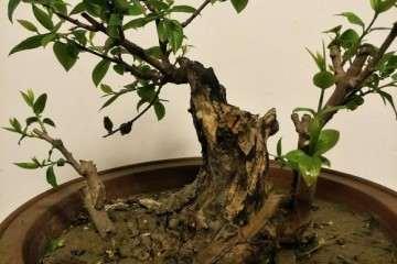 今天修剪的腊梅下老桩盆景 图片